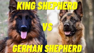 King Shepherd Vs German Shepherd  The difference between the two dog breeds