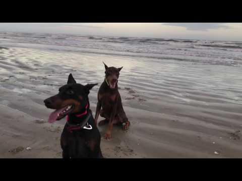 Doberman Pinschers Day At The Beach (watch in HD)