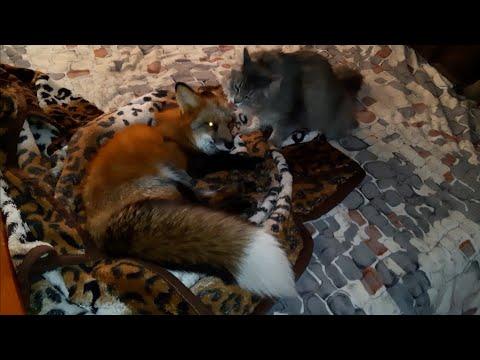 Лиса Яшу кот будит на прогулку