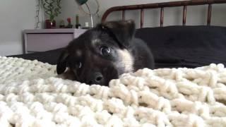 German Shepherd puppy talking back