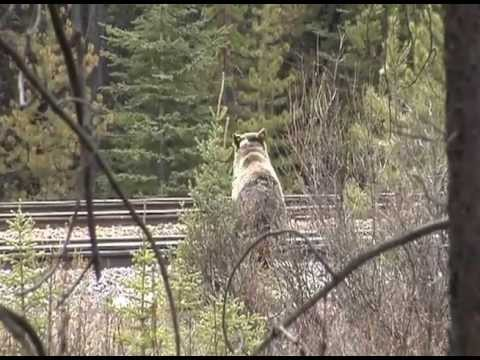 Grizzly Bear fighting with a Train in National Park Banff/Alberta/Canada