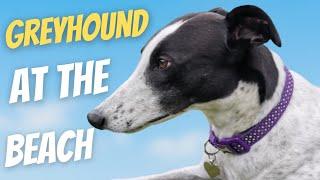 Greyhound at the Beach