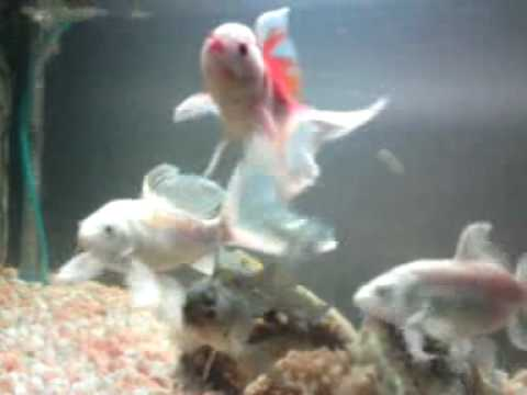 White butterfly koi fish oranda goldfish youtube for All white koi