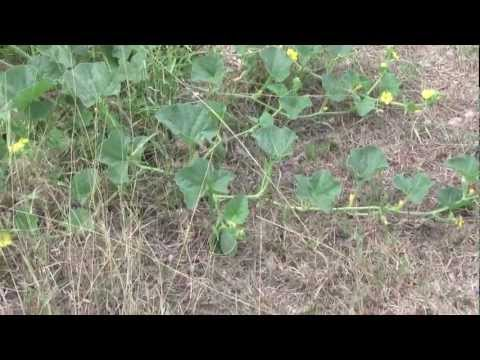 How fast do watermelons and cantaloupe grow? fuit flower