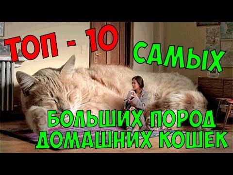 Самые большие породы кошек: описание гигантов