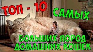 ТОП - 10 САМЫХ БОЛЬШИХ ПОРОД ДОМАШНИХ КОШЕК