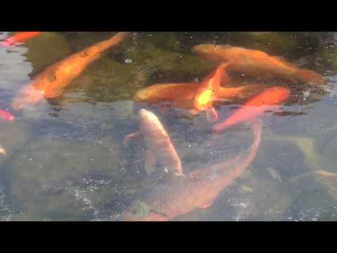 Koi Goldfish Stuck In Frozen Pond