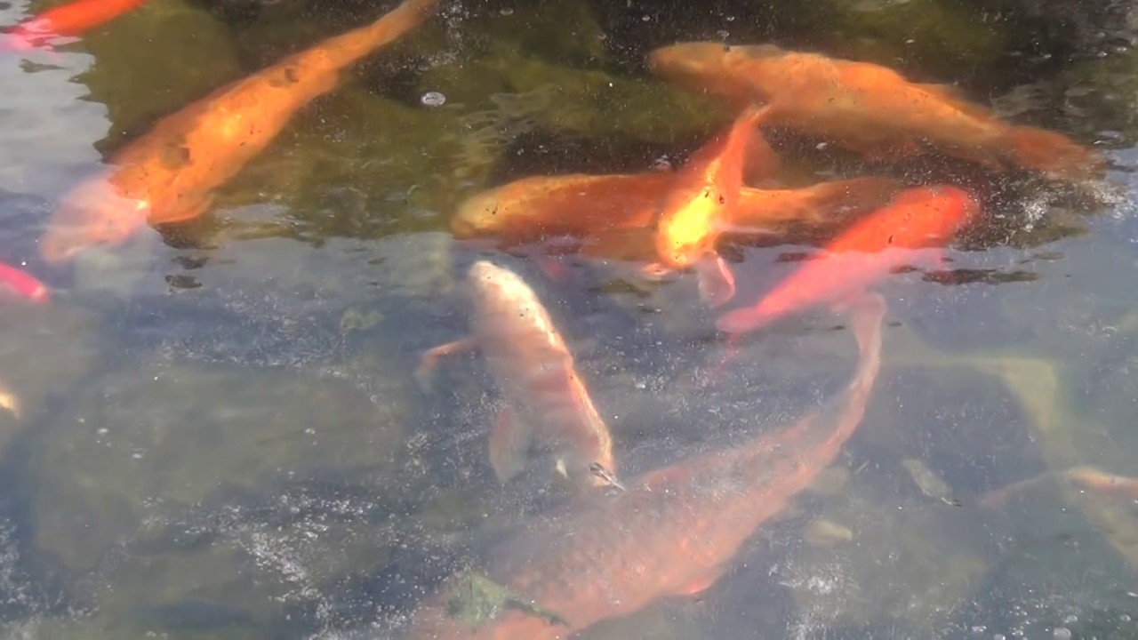 koi goldfish stuck in frozen pond youtube