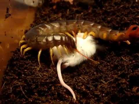Giant Vietnamese Centipede Preys on Mouse