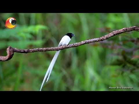 TAUKAH KALIAN?!? Tentang Burung Tali Pocong