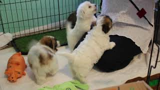 Coton de Tulear Puppies For Sale - Vivian 2/18/21