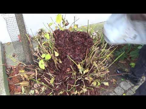 Jak zabezpieczyć Hortensję ogrodowa na zimę?