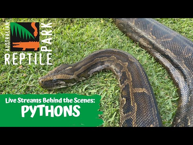 LIVE WITH PYTHONS   AUSTRALIAN REPTILE PARK