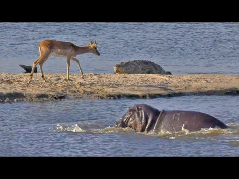 Buck Tries to Out-Swim Crocodiles and Hippos - YouTube