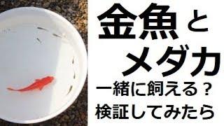金魚とメダカ一緒に飼える?検証してみたら