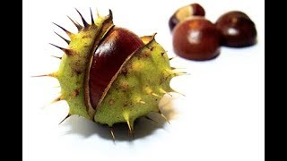 Horse Chestnut Seed Extract for Varicose Veins, Swelling, Pain, Heaviness, Itching