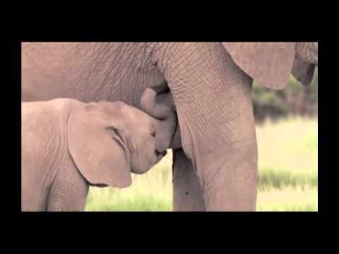 nature-clip-13-elephant-oxytocin.mp4