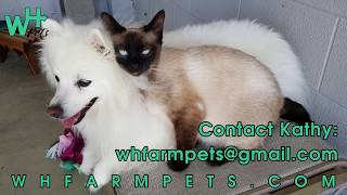 Ragamese Kittens NOW FOR SALE!