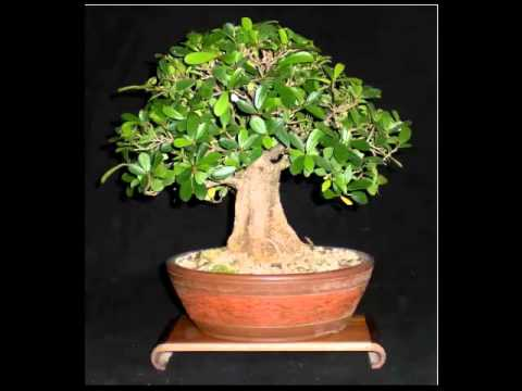 Ficus Bonsai Leer Hoe Jij Je Bonsai Boom Kunt Kweken Verzorgen En Snoeien Klik Hier Youtube