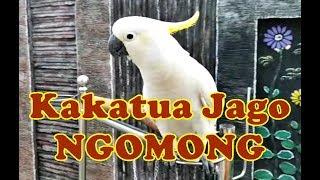 Namanya Yakub Si Burung Kakatua Yang Jago Ngomong