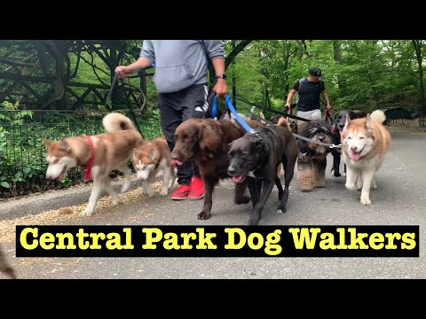 Central Park Dog Walker Marching Together