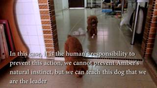 Amber Toy Poodle - Influential Behaviors