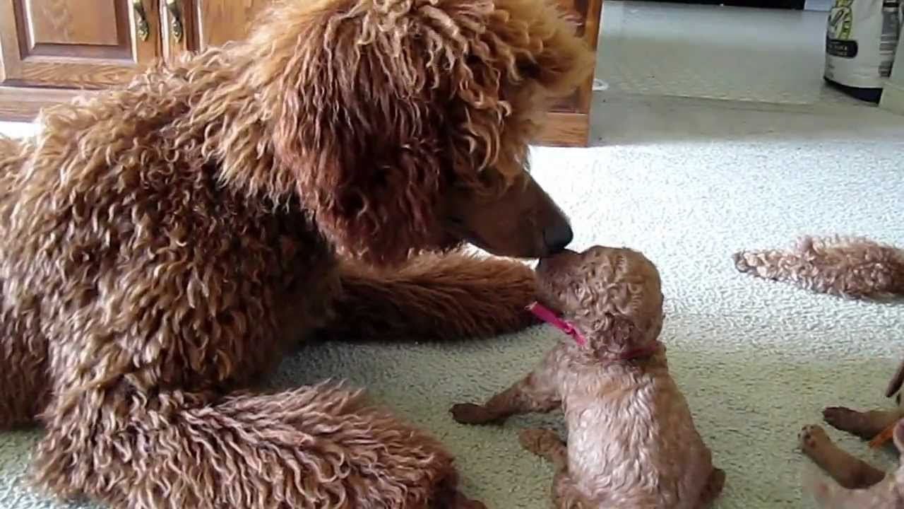 Red Standard Poodle Puppies Having Fun Playing Youtube