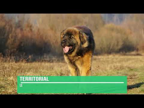 Leonberger Dog Breed Info - Leonberger Facts