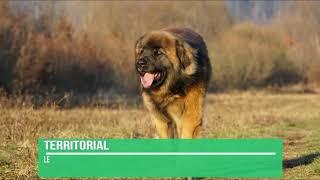 Leonberger Dog Breed Info - Leonberger Facts
