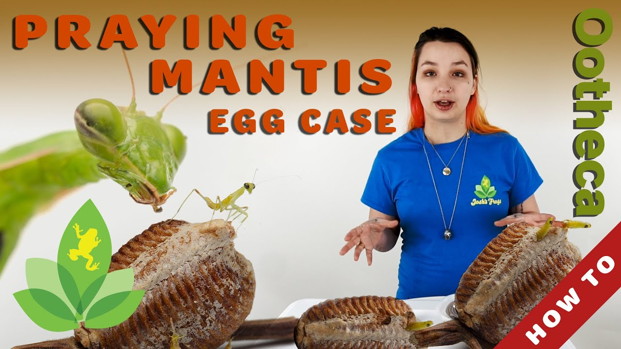 How To Keep And Hatch Praying Mantis Egg Cases Ootheca Youtube