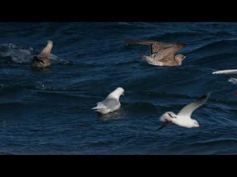 Iceland Gull at Peel, Isle of Man. 4K