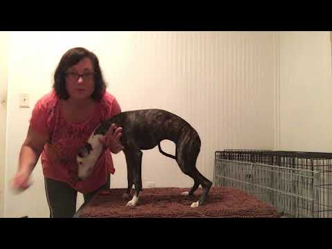 Lori Rizzo Whippet Puppy Training Wk 1 Lesson 3