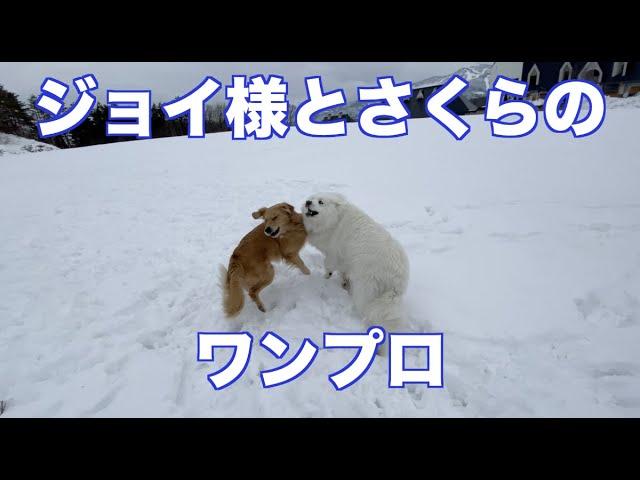 ジョイ様との雪遊び グレートピレニーズ