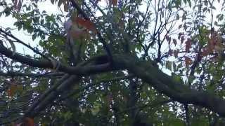 Большая урожайность персика, обрезка, формировка дерева, видео(Выращивание персика, урожайность персика, обрезка персика, формировка дерева персика, перегрузка персика,..., 2013-11-10T01:36:20.000Z)