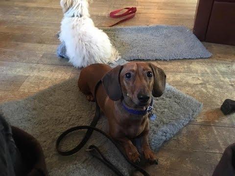 Maynard - Mini Dachshund - 5 Weeks Dog Aggression Residential Dog Training