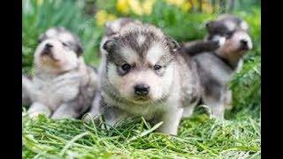 アラスカンマラミュートの子犬がもふもふでたまらなくかわいい!! 続き...