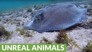 Stingray sweeps tail across camera as it hunts for food