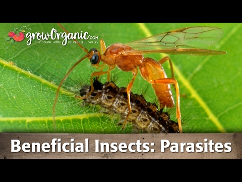 How to Utilize Beneficial Insects (Parasites) in Your Organic Garden