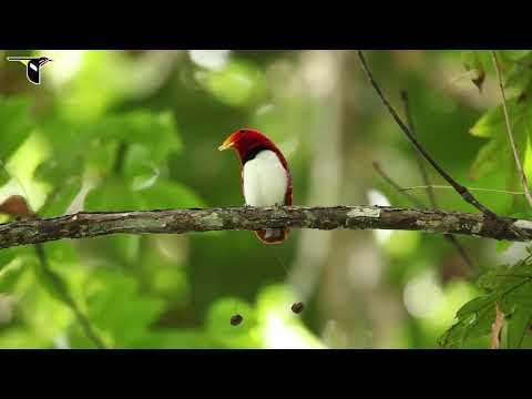 Penampakan BURUNG SURGA. Paradise Bird