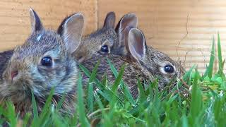 Our first 7 days of Baby Cottontail Rabbit Rescue