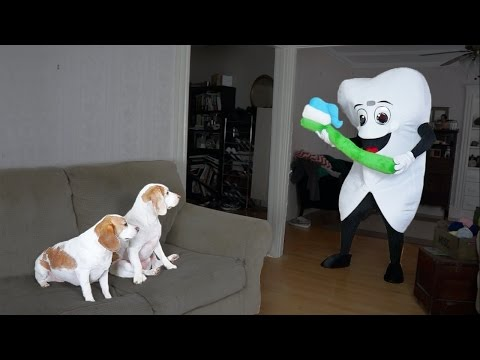 Dogs vs. Giant Tooth and Toothbrush: Funny Dogs Maymo & Penny