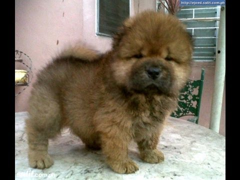 Chow Chow Puppies Dogs For Sale In Norfolk County Virginia Va