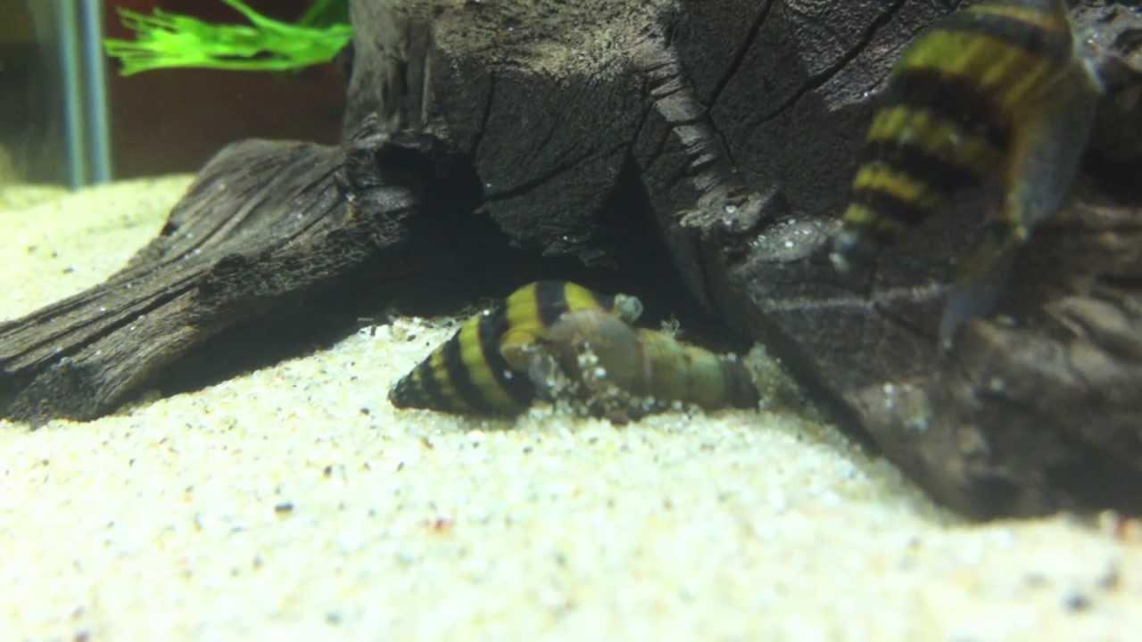 Freshwater aquarium fish that eat snails - Assassin Snail Eat Another Snail Time Lapse