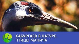 Птицы Манича - Хабургаев в натуре | Живая Планета