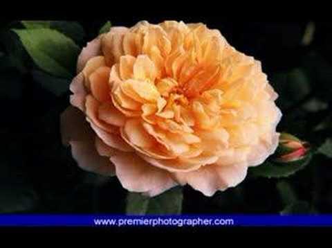 999 Roses