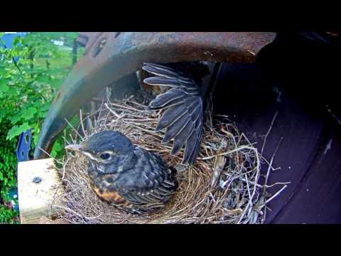 Robins leaving the nest - cam 2