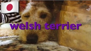 0002 welsh terrier playing.