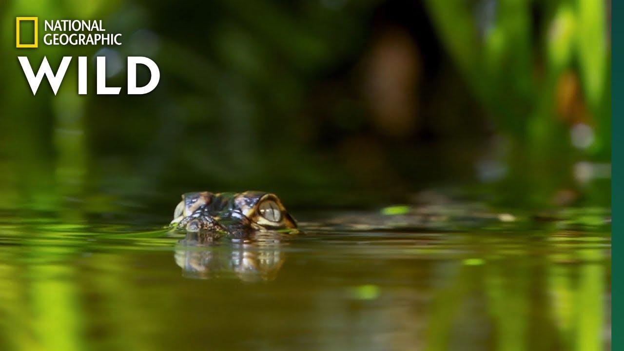 Baby Gator v. Fish | Predator in Paradise