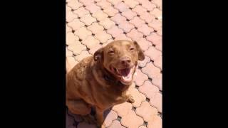 Meet Sarah A Retriever Labrador Currently Available For Adoption At Petango.com! 6/8/2015 1:31:23 P