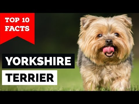 Yorkshire Terrier  Top 10 Facts (Toy Dog)